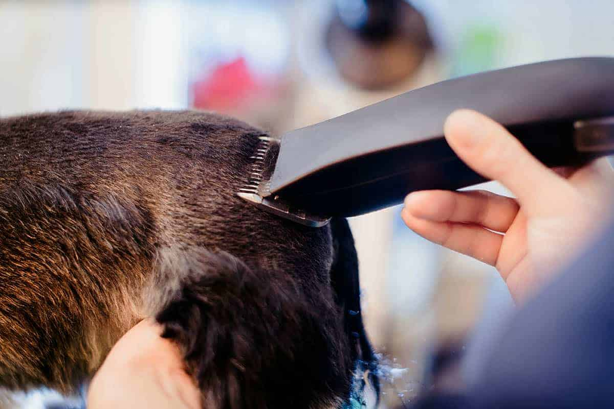 hoe hond scheren
