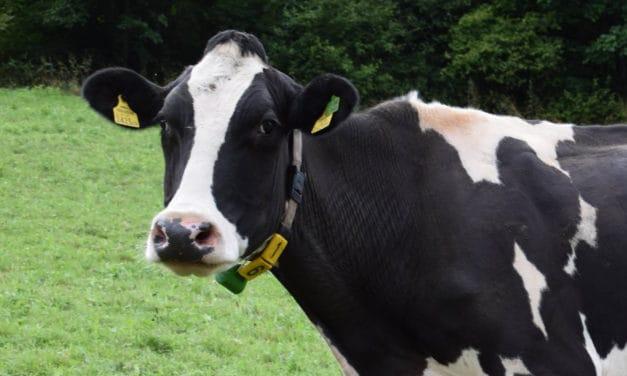 Scheermachines voor koeien